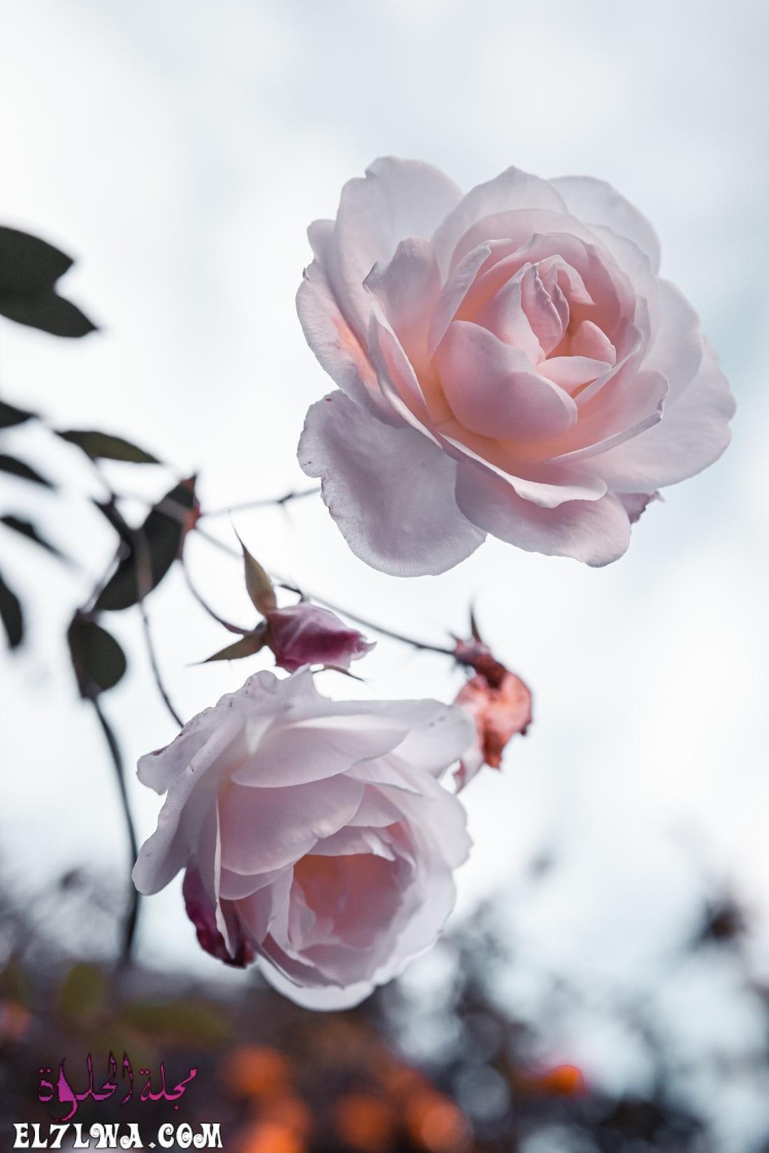 خلفيات ورد خلفيات ورود جميلة جدا خلفيات ورد طبيعي الورد من أكثر الأشياء التي ترسم البسمة وتبعث الر احة والت فاؤل بألوانها الز ا In 2021 Plant Images Rose Free Plants