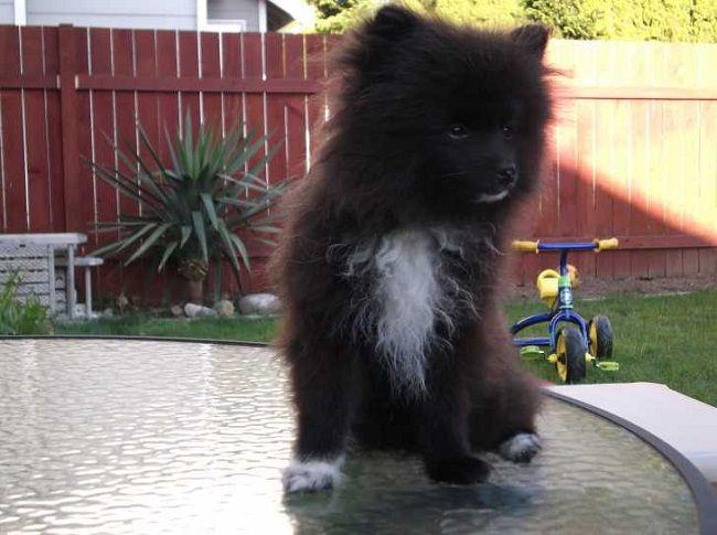 Amazing Pomeranian Brown Adorable Dog - 9d00e575cc72017c2e7e1b234de86e47  2018_292085  .jpg