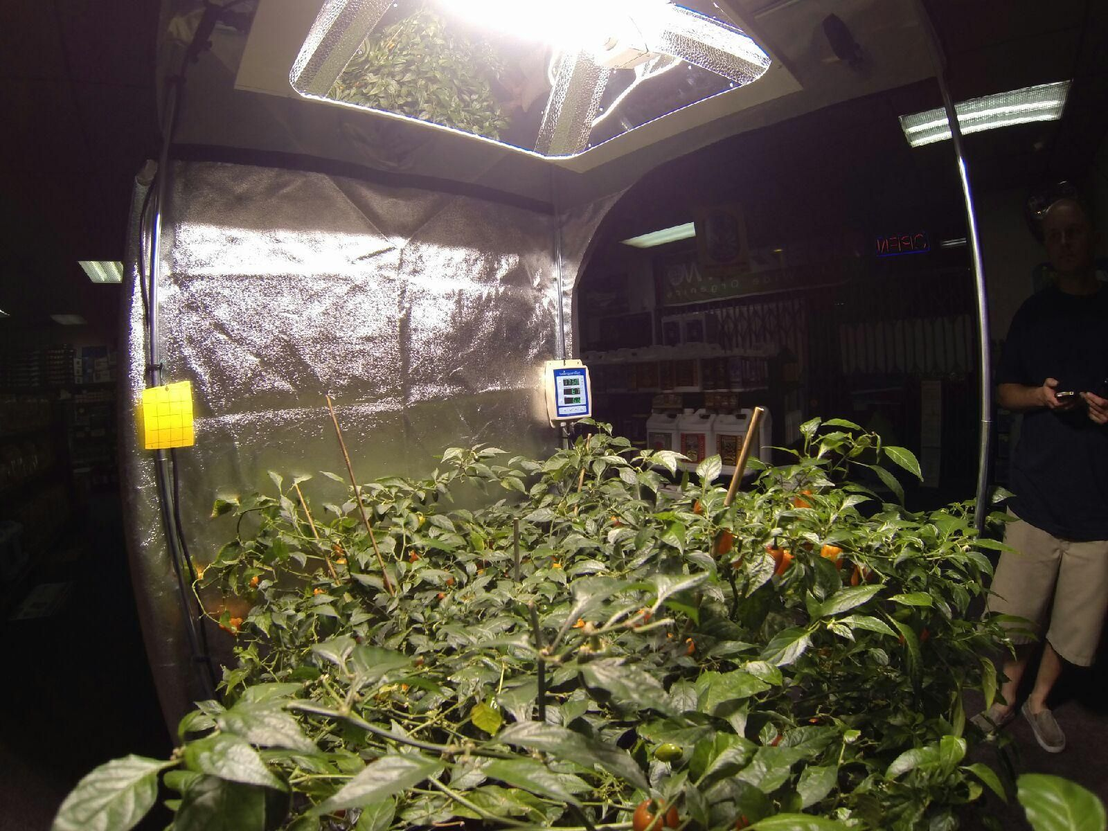 These plants are flawless and bearing a ton of fruit! is growing Habaneros in a Fortress 90 tent ... & The Hydro Shop of Cerritos has a killer LEC 630 and LEC 315 ...