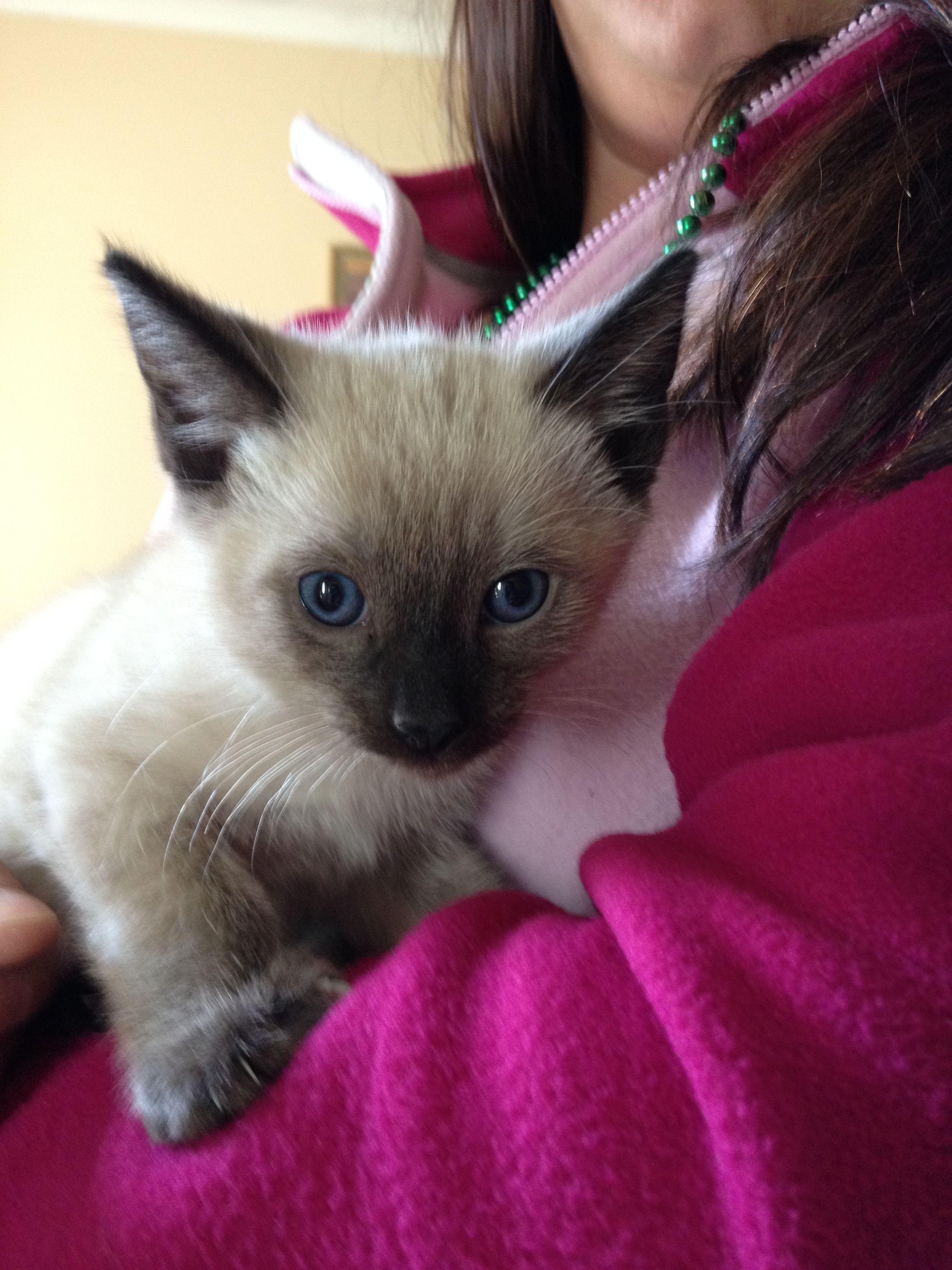 My New Little Boy Siamese Kitten Cyrus 3 Siamese Kittens Beautiful Cats Siamese Cats