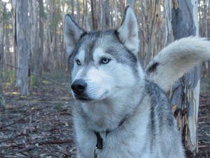 Siberian Huskies In Australia Siberian Husky Husky Puppy Dogs