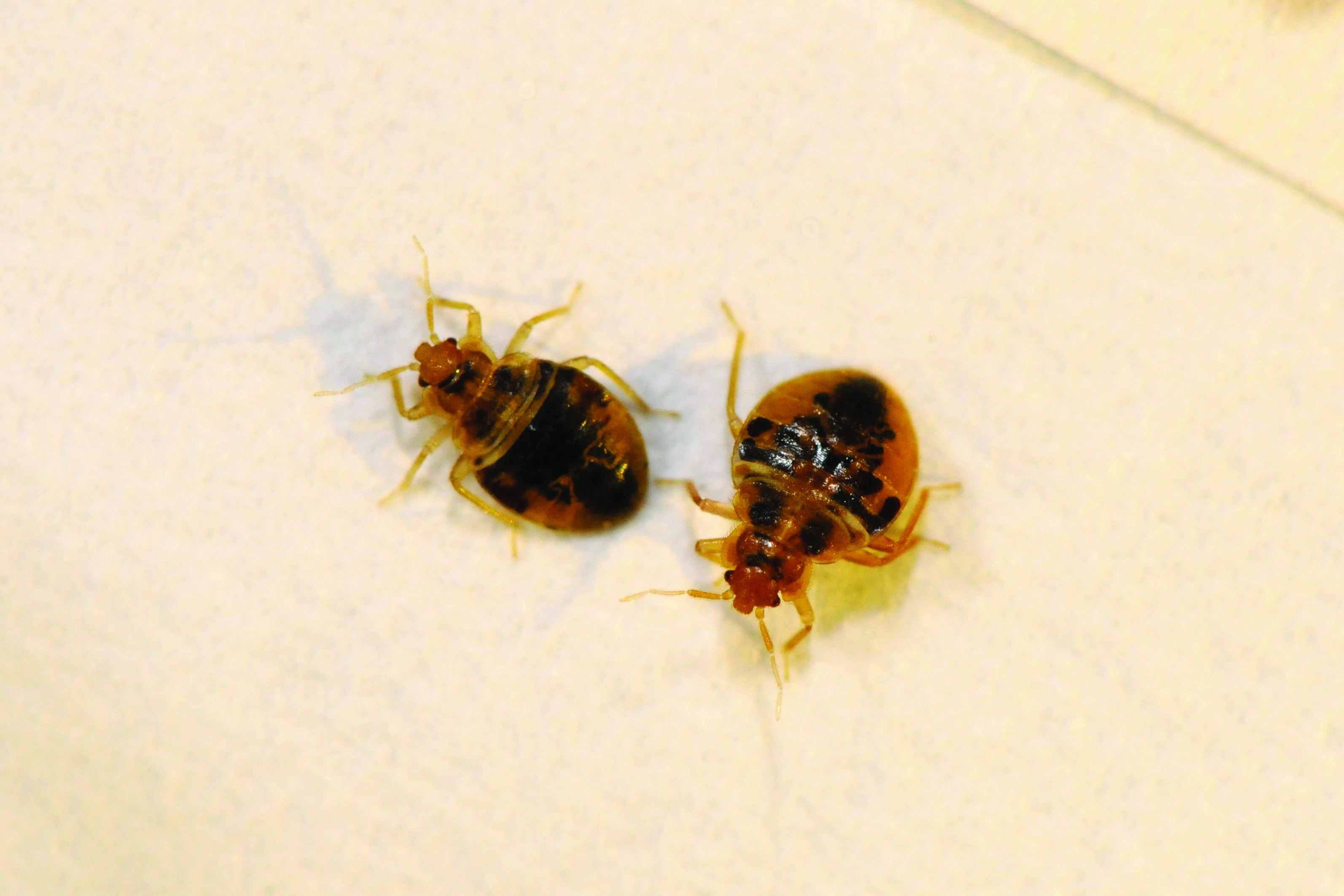 Top Bed Bug Cities For 2014 Bed Bugs Bugs Household Pests