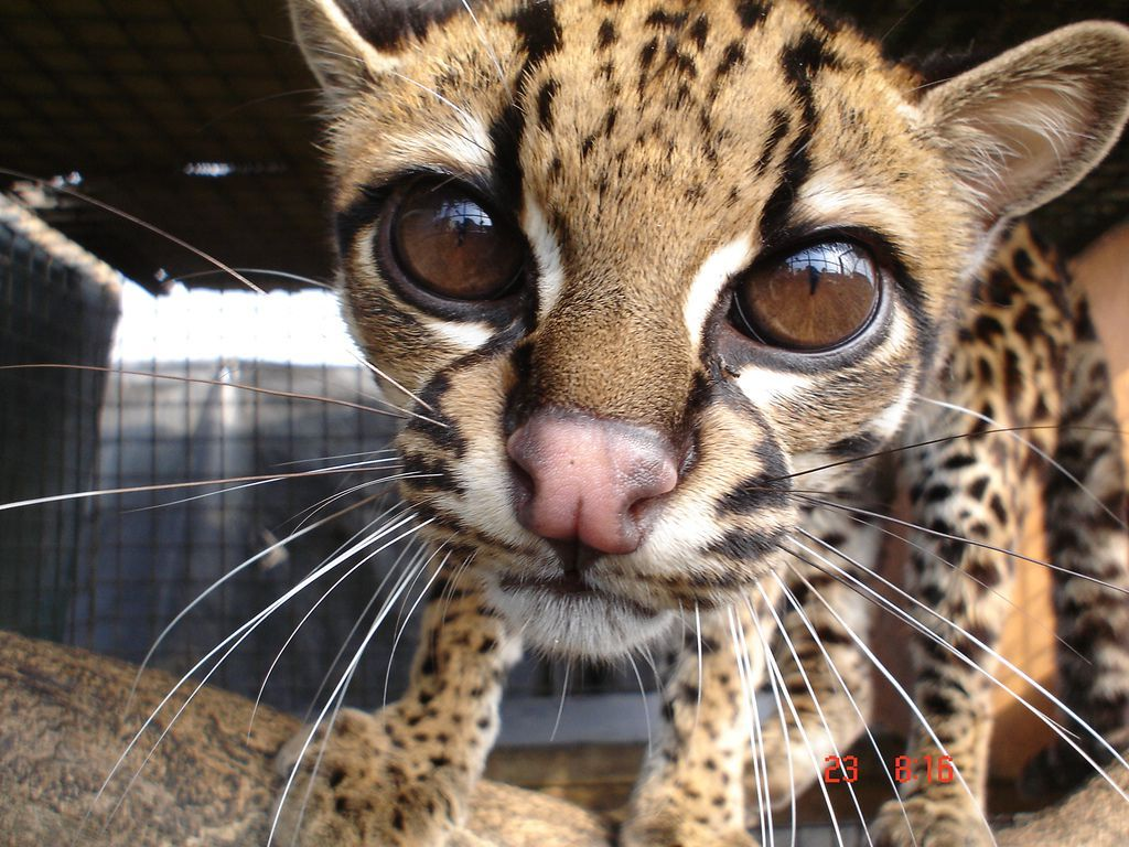 rusty spotted cat for sale