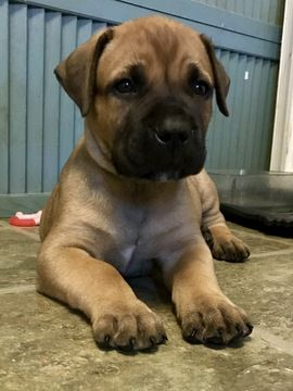 Litter Of 8 Boerboel Puppies For Sale In Chesapeake Va Adn 21598