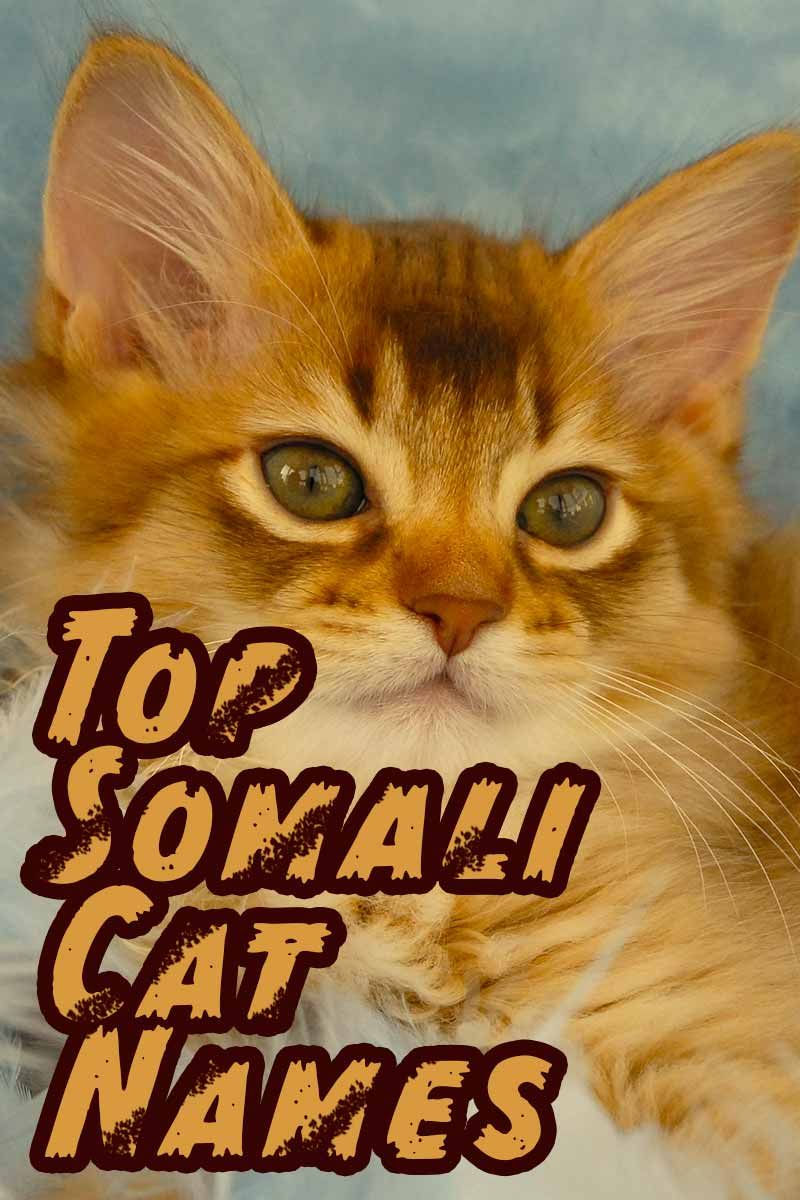 Somali Cat Name Stunning Names For Striking Cats Cat Names Cute Cats Photos Cat Facts