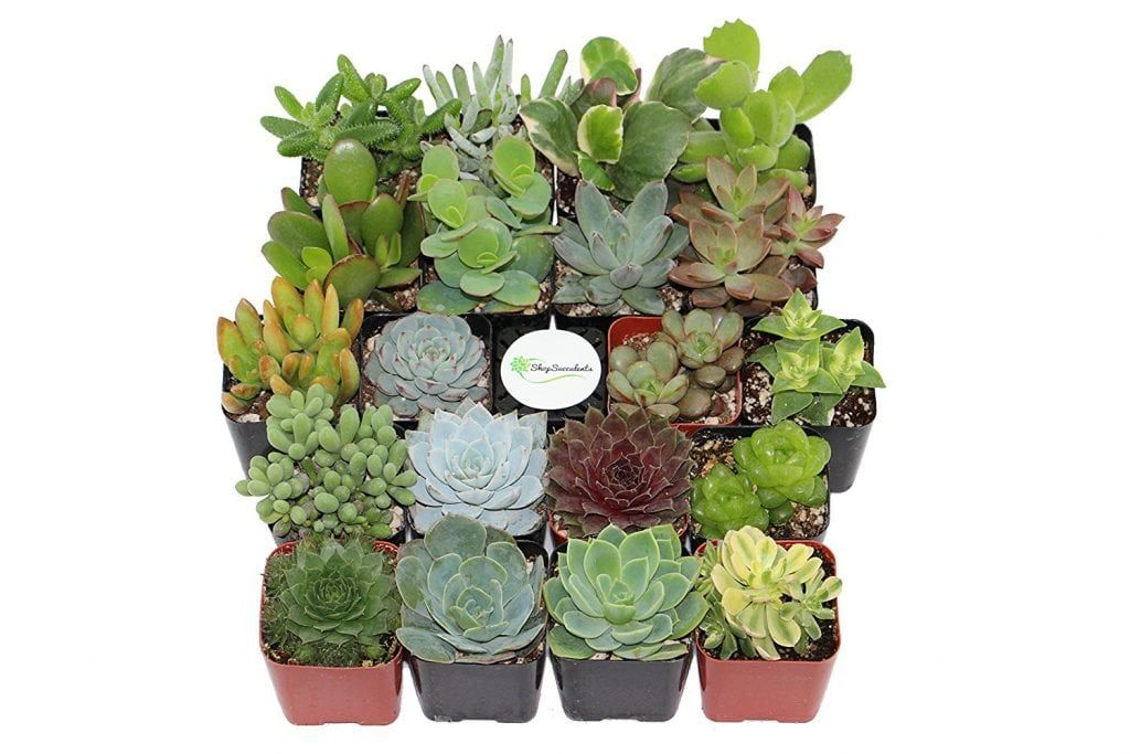 Feng Shui Houseplants Shop Succulents Crassula Succulentes
