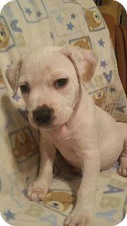 Mesa Az American Bulldog Boxer Mix Meet Juniper A Puppy For Adoption Puppy Adoption American Bulldog American Bulldog Mix