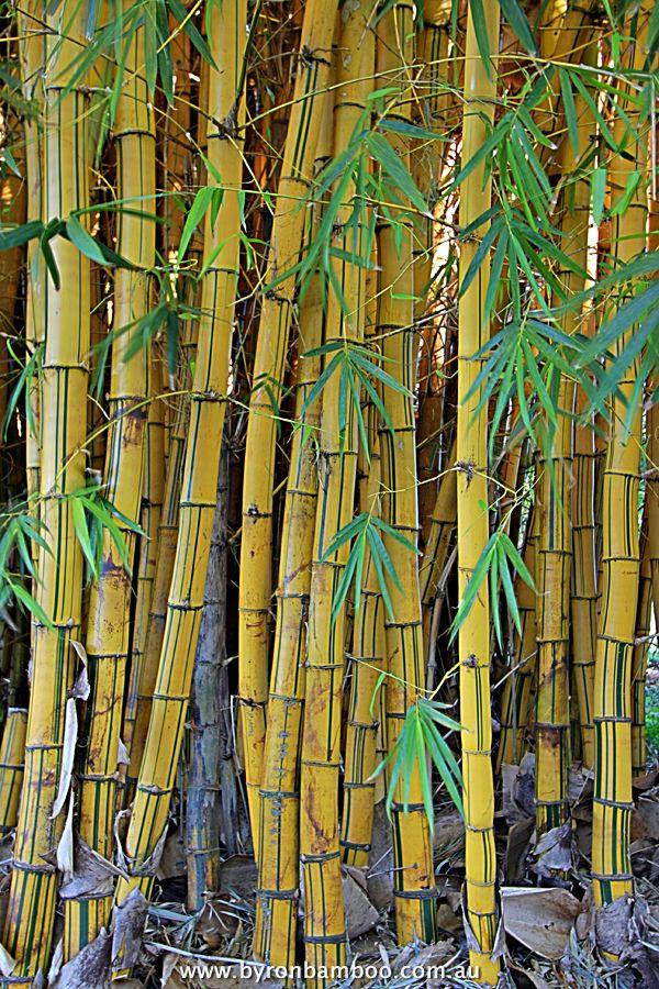 Bambusa Vulgaris C V Vittata Bamboo Species Painted Bamboo Bamboo