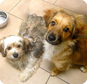 Beverly Hills Ca Havanese Dachshund Mix Meet Chestnut A Puppy For Adoption