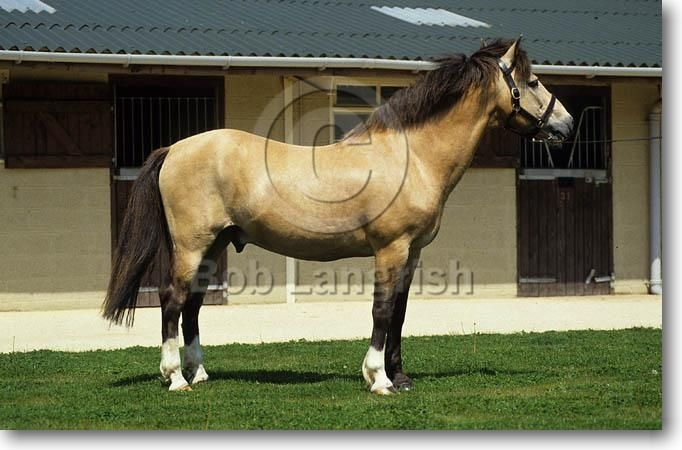 Bob Langrish Equestrian Photographer Galleries New Forest Horse Breeds Horses