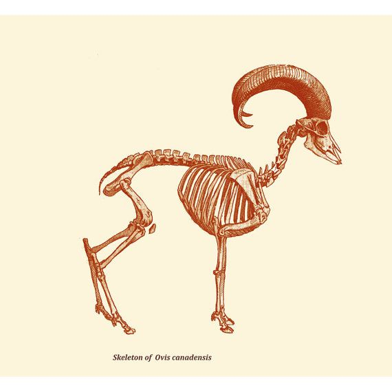 Skeleton Print Bighorn Sheep Vintage Illustration | Bighorn Sheep ...