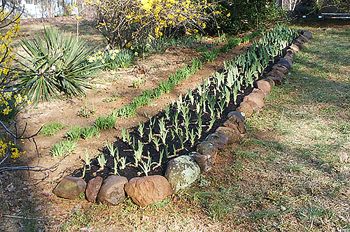 Bearded Irises Do Not Tolerate Standing Water; Raised Beds Can Help With  Drainage. Description