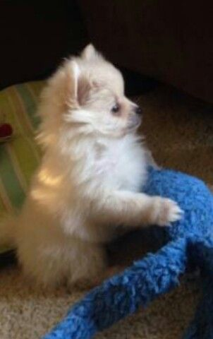 Prince Charming as a baby (Pomeranian)