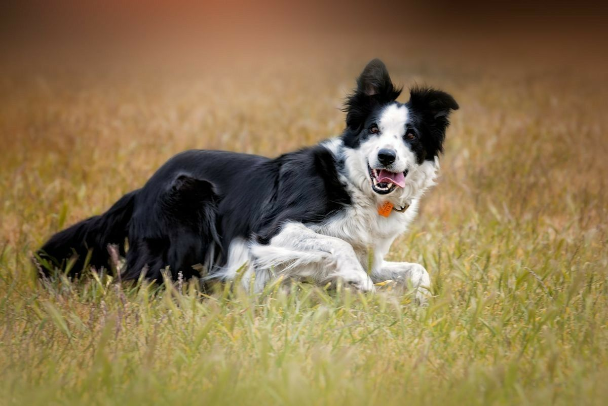 Border Collie The Border Collie Becausethere Is No Better Dog