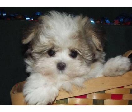 Dogs For Sale In Ashburn Virginia Teddy Bear Dog Puppies Bear Dog