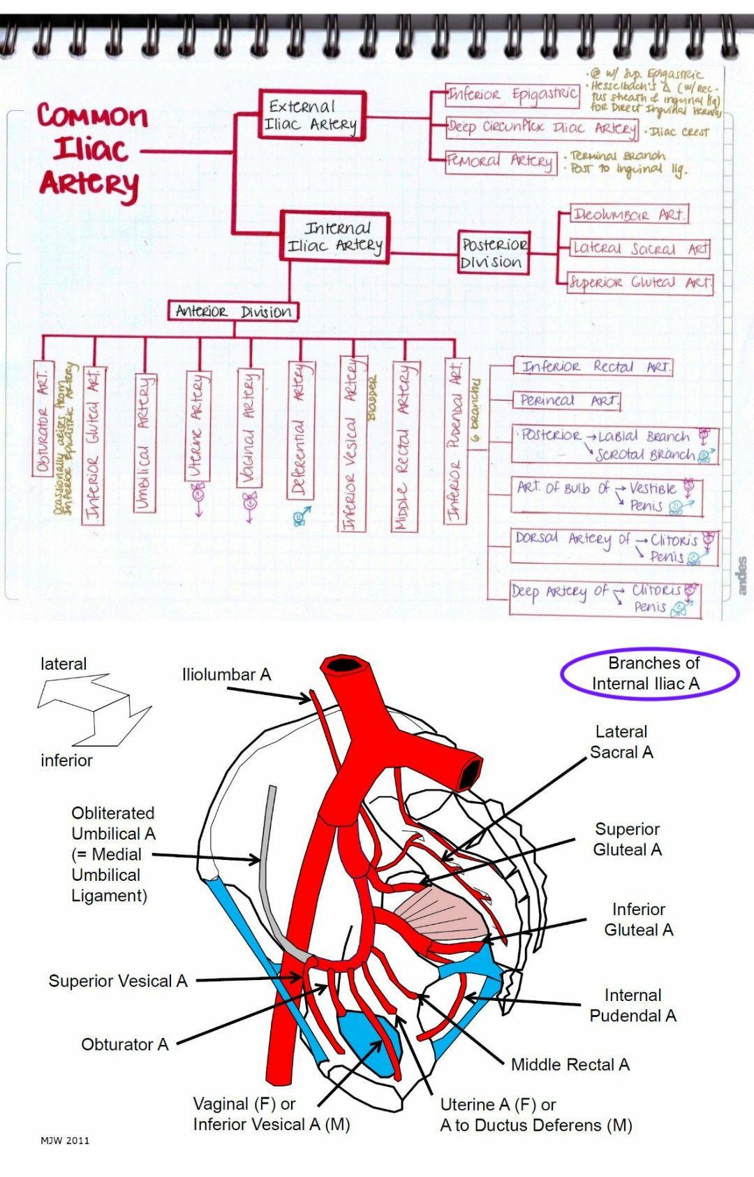 Branches of iliac artery | Arteries & Veins | Pinterest