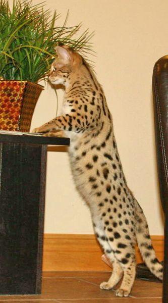 F1 Serval Queen Katzen Tiere