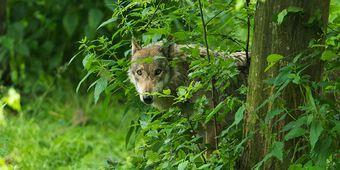 Wolf in Nordrhein-Westfalen gesichtet