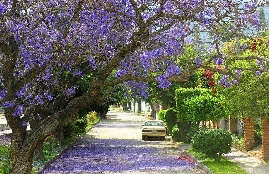 Jacaranda Trees In Bloom Ajijic Jalisco Many Other Trees Bloom
