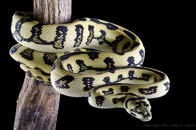 Jungle X Jaguar Carpet Python Pet Snake Beautiful Snakes Snake