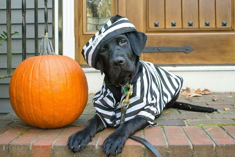 Adorable Black Lab Puppy Pet Photography Halloween Costume