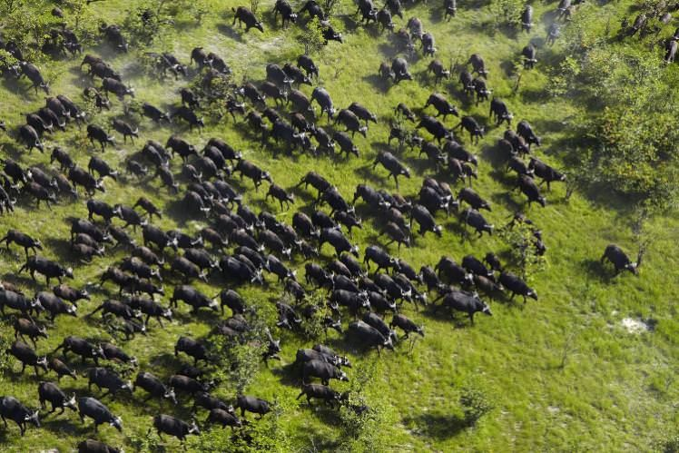 Herd of buffalo on the move in the Okavango Delta. Image by Danita Delimont / Getty Images