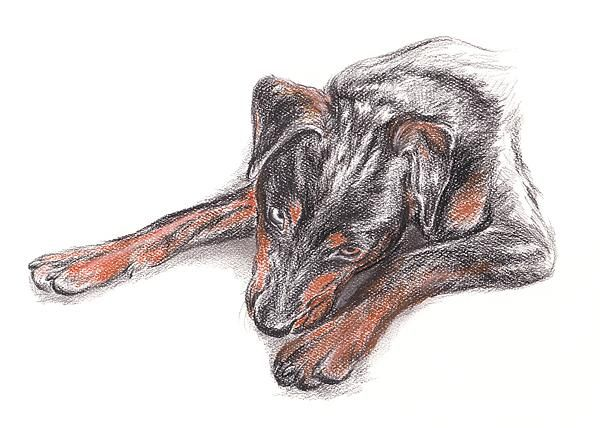Young Black Dog Portrait - this charcoal and pastel artwork by @M.M. Anderson portrays a young Rottsky or Rottweiler X Siberian Husky mixed dog.
