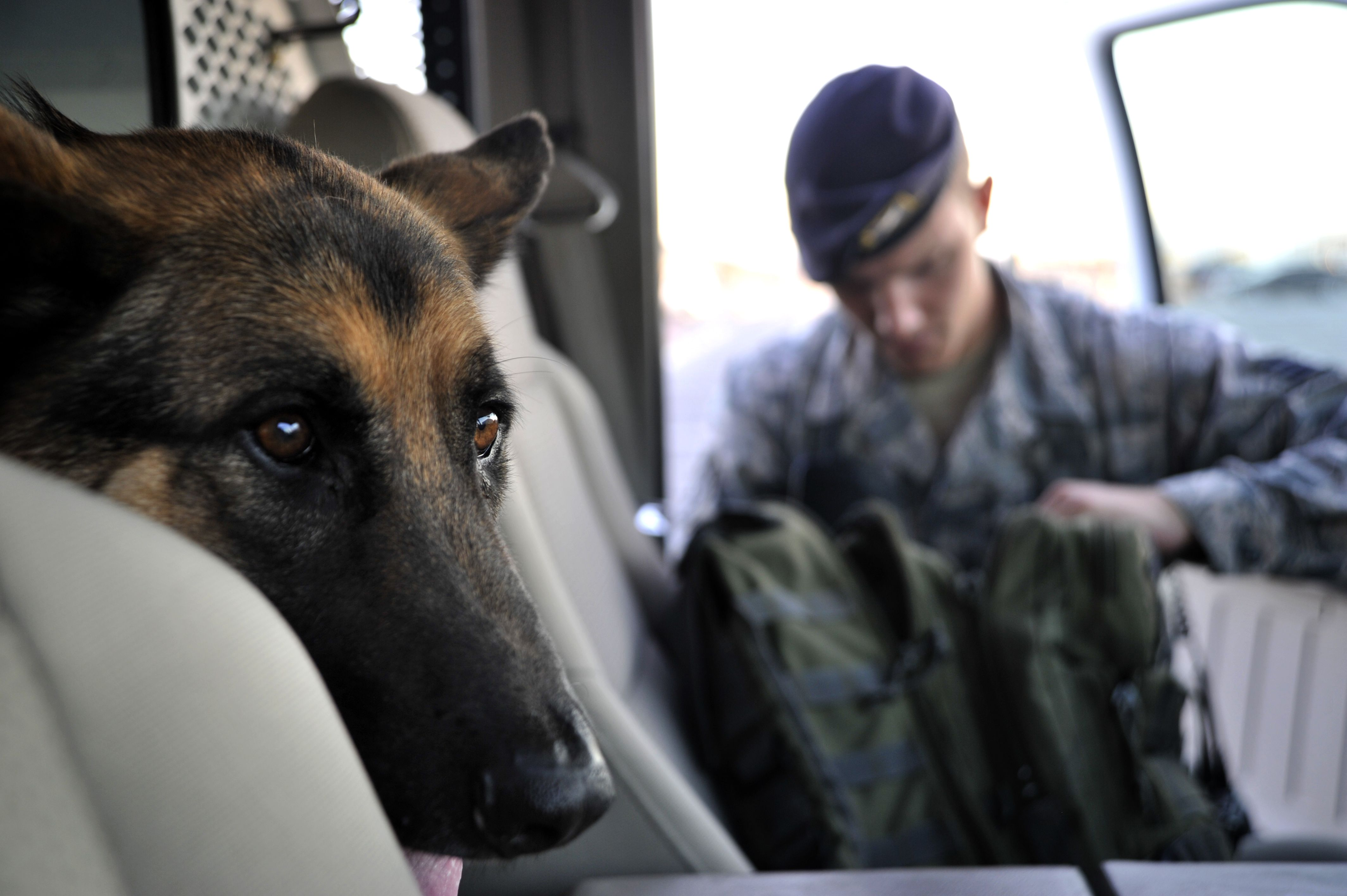 Military Working Dog Dak, looks out a truck in