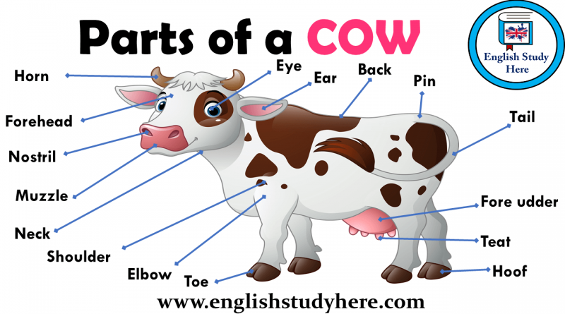 Vaca en inglés