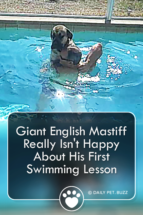This Giant English Mastiff Has Never Been In A Pool Before And By The Way He Is Hanging On To His Dad I Don T Think In 2020 English Mastiff Dog Swimming