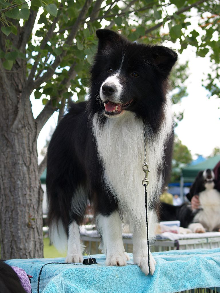 Looks Like My Roxy Collie Border Collie Collie Dog