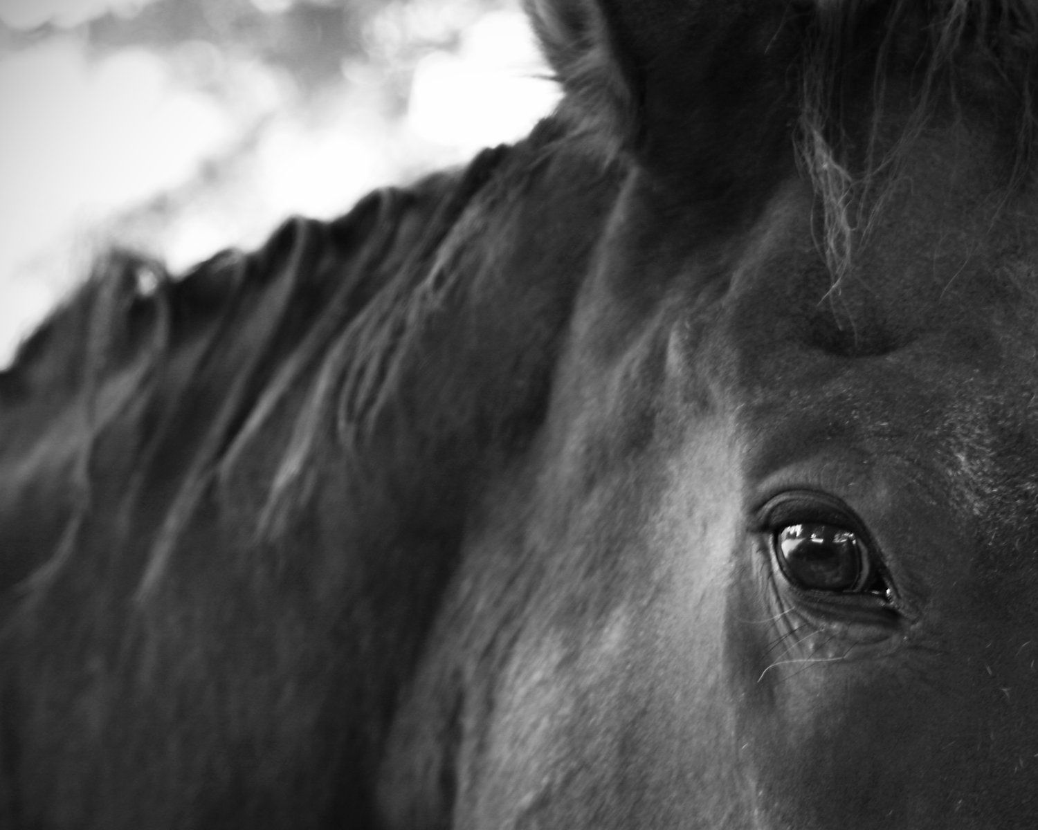 horse photography black and white nature animals. Black Bedroom Furniture Sets. Home Design Ideas