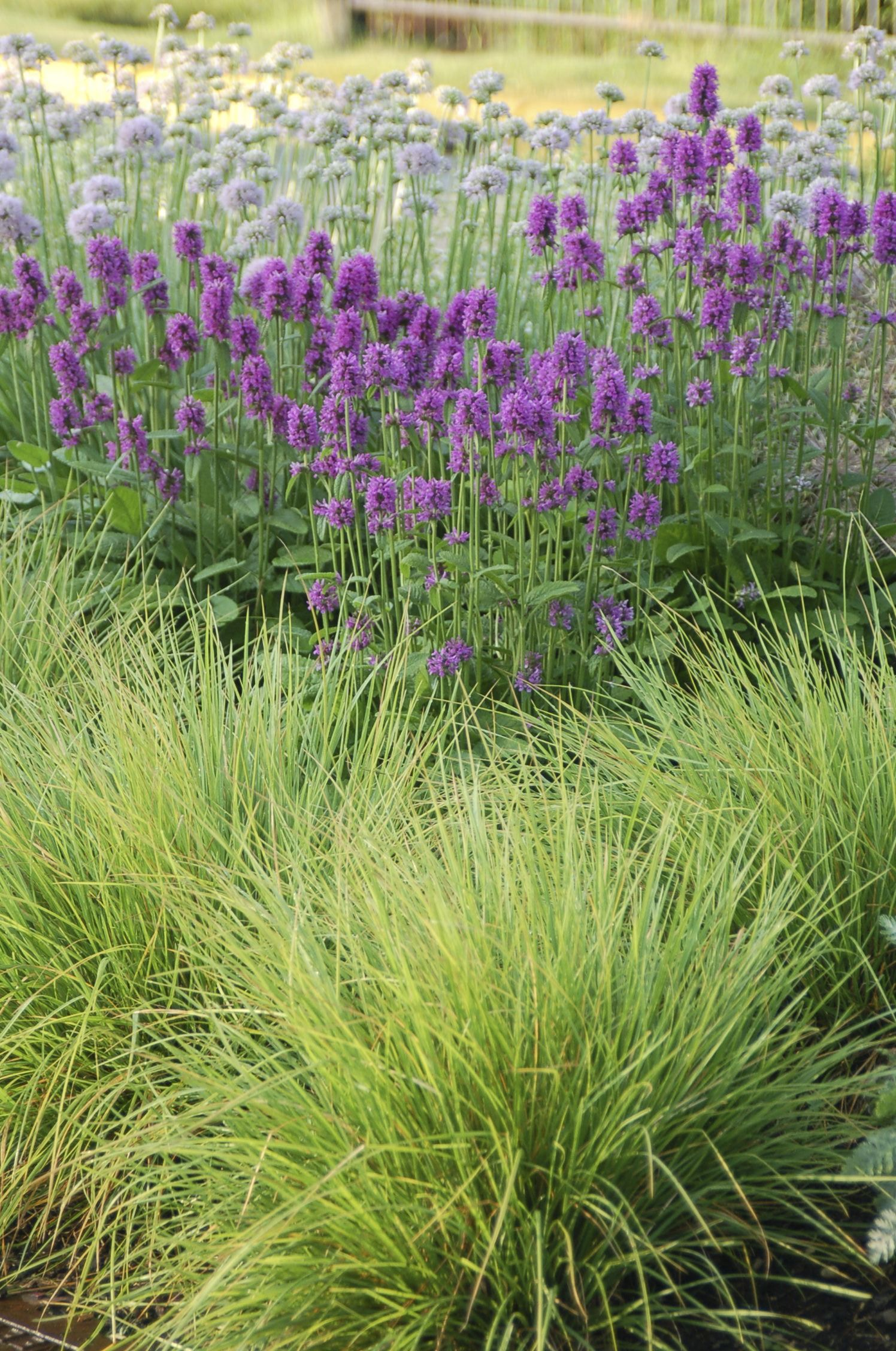 Sesleria Autumnalis Backed By The Rose Purple Spikes Of Stachys Officinalis Hummelo And The Lilac Globes Of Allium British Garden Plants Ornamental Grasses