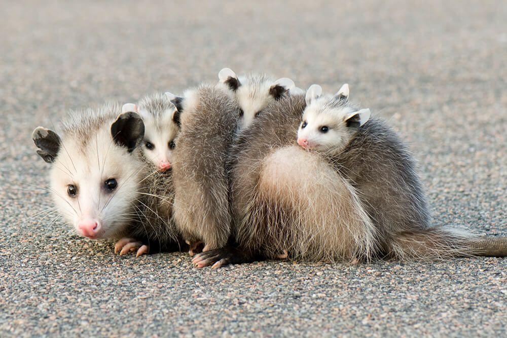 Pin By Sophie S On Animals Refs Opossum Opossum Facts Animals