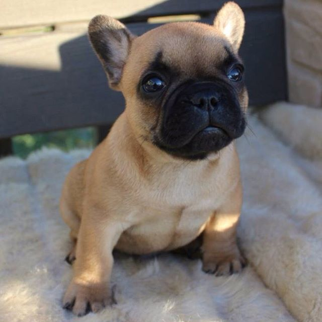This Is Duke He S My New Little Brother French Bulldog Puppy