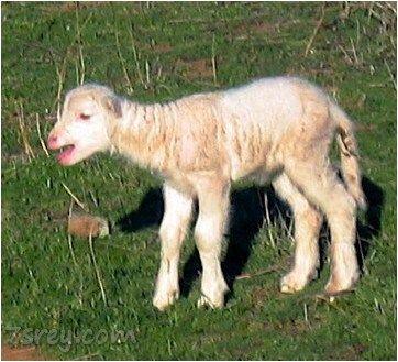 صور خروف العيد صور أغنام متنوعة أجمل صور خرفان جديدة موقع حصري Animals And Pets Animals Sheep