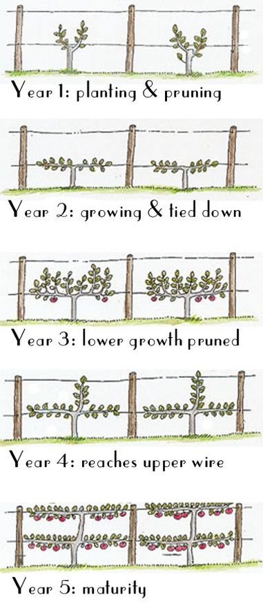 Espalier Things To Make Pinterest Grape Vines Wine And Gardens