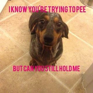 Yes How Can I Be Of Service Dog Love Dachshund Dog Dogs