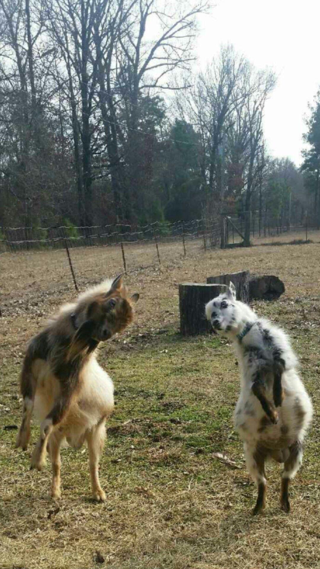 Nigerian dwarf goat bucks farmlife goat Dwarf goats