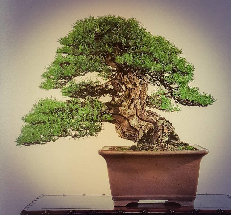 Pinus Thumbergii 58cm Kokufu 1989 Sábado Y Domingo Abierto De 10 A 14h Bonsaikido Tu Tienda Y Escuela De Bonsai En Bonsai Tree Bonsai Bonsai Garden