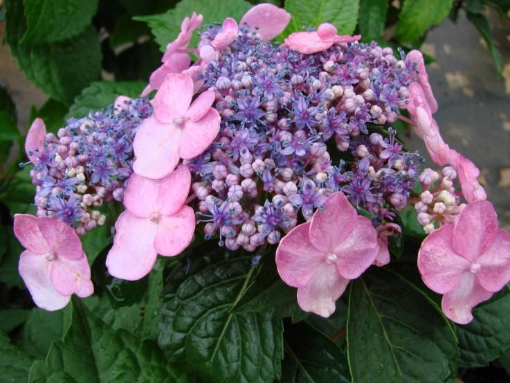 Twist And Shout Endless Summer Hydrangea The Flowers Last A Long Time Endless Summer Hydrangea Summer Hydrangeas Twist And Shout Hydrangea