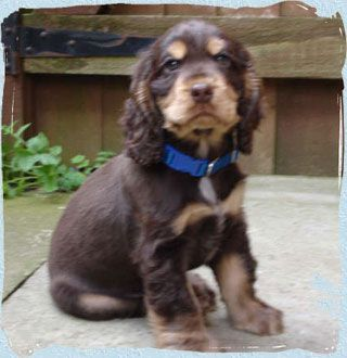 Kenalure Cocker Spaniels Dogs Adorable Chocolate Tan Pup Pedigree Dog Dog Breeder Cocker Spaniel