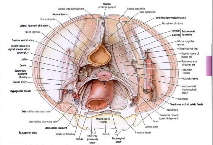 anatomy of female abdominal ligaments   pouches-and-ligaments-of ...