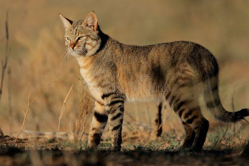 African Wild Cat An African Wild Cat Felis Silvestris Lybica