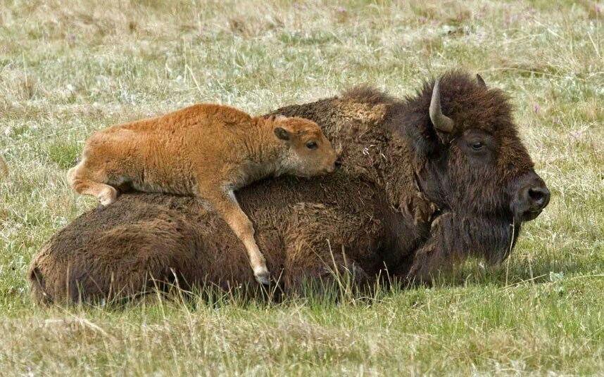 American Bison & Calf