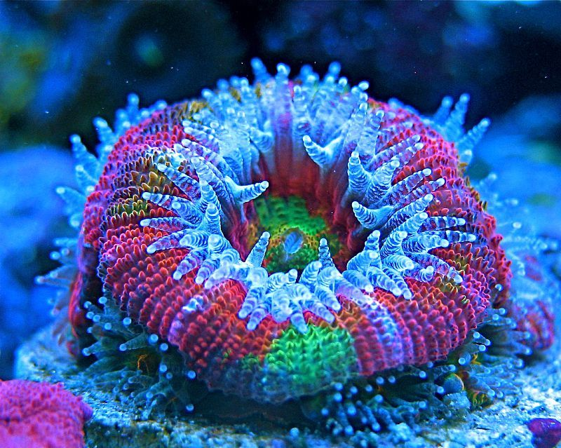 Saltwater Coral Quick Stats Care Level Easy Temperament