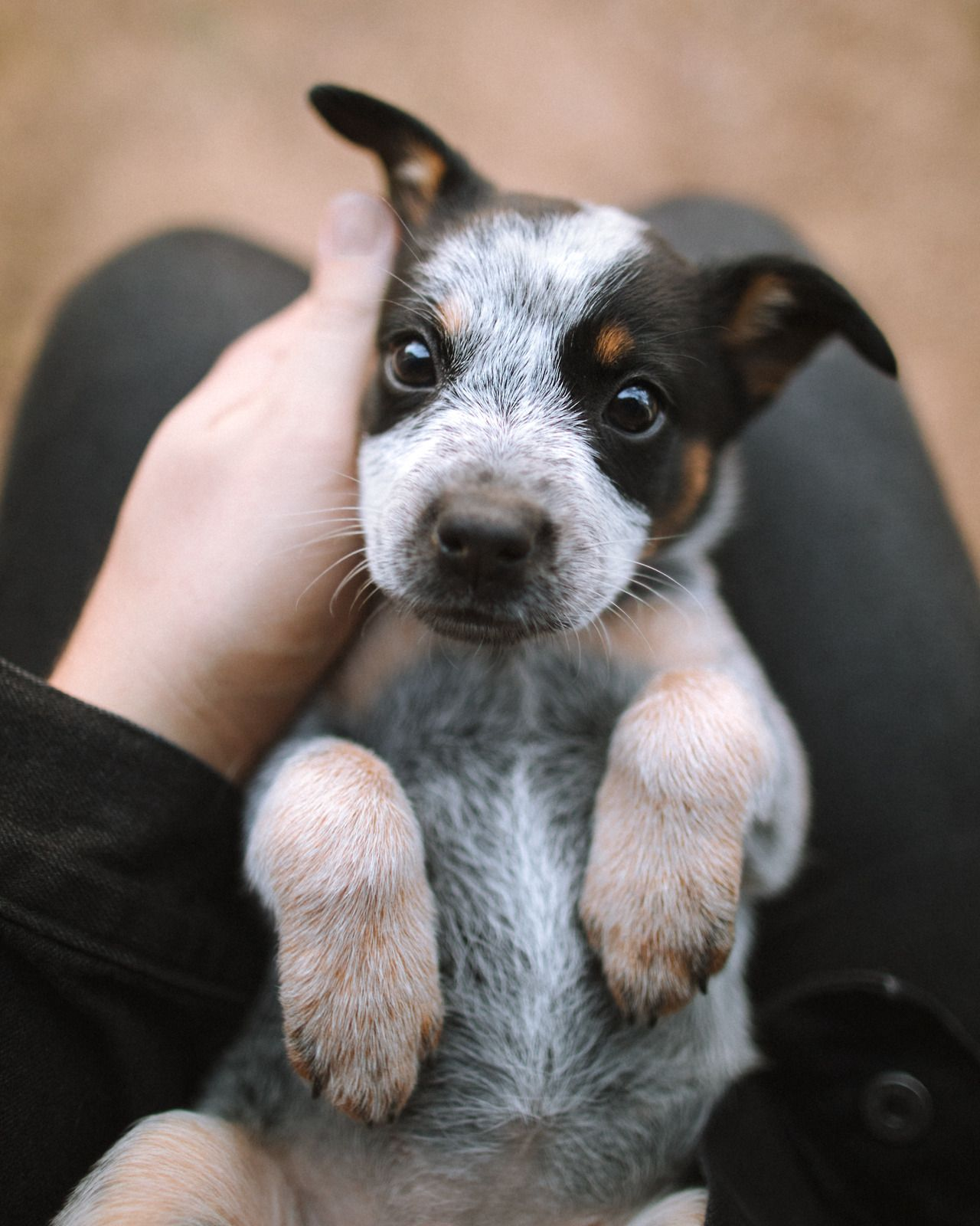 Forrestmankins Penny Jo My Little Heeler Pup Cute Dogs Dog Love Dogs