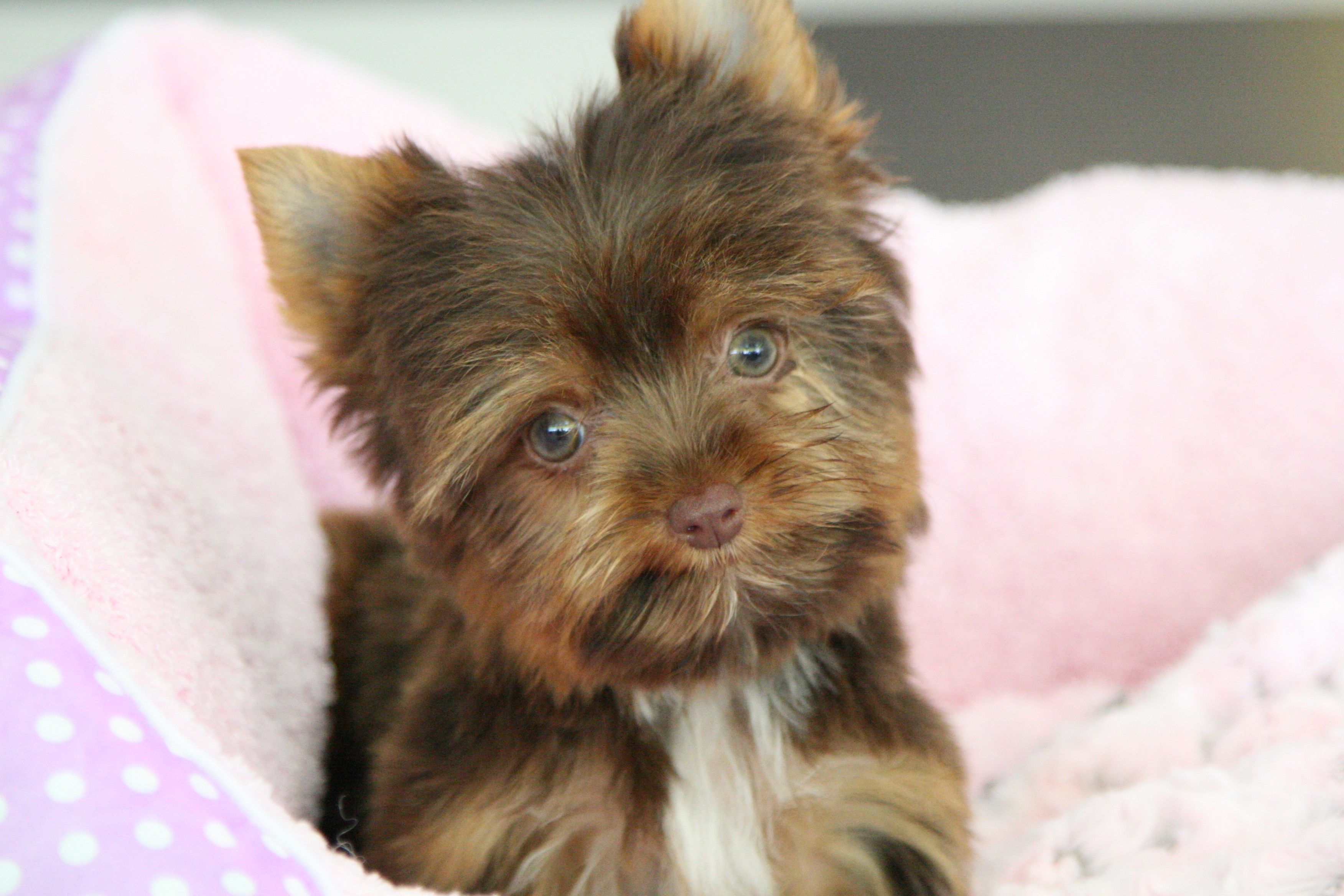 Harper Puppies Cute Funny Animals Yorkie Puppy