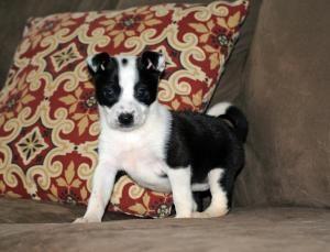 Adopt Felicia On Border Collie Dog Dogs Border Collie Mix