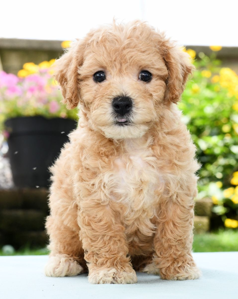 Puppies For Sale Baby Animals Puppies Lancaster Puppies